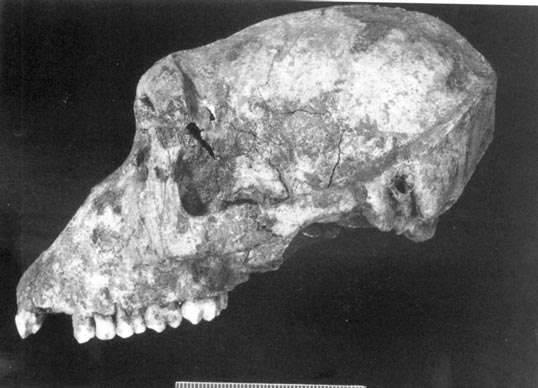 Navan Fort in the Iron Age - Site B Barbary Ape Skull